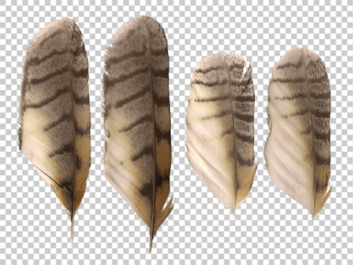 Long-eared owl feathers